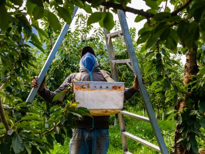 Ladders Pose a Heightened Risk for Your Orchard and Grove Clients